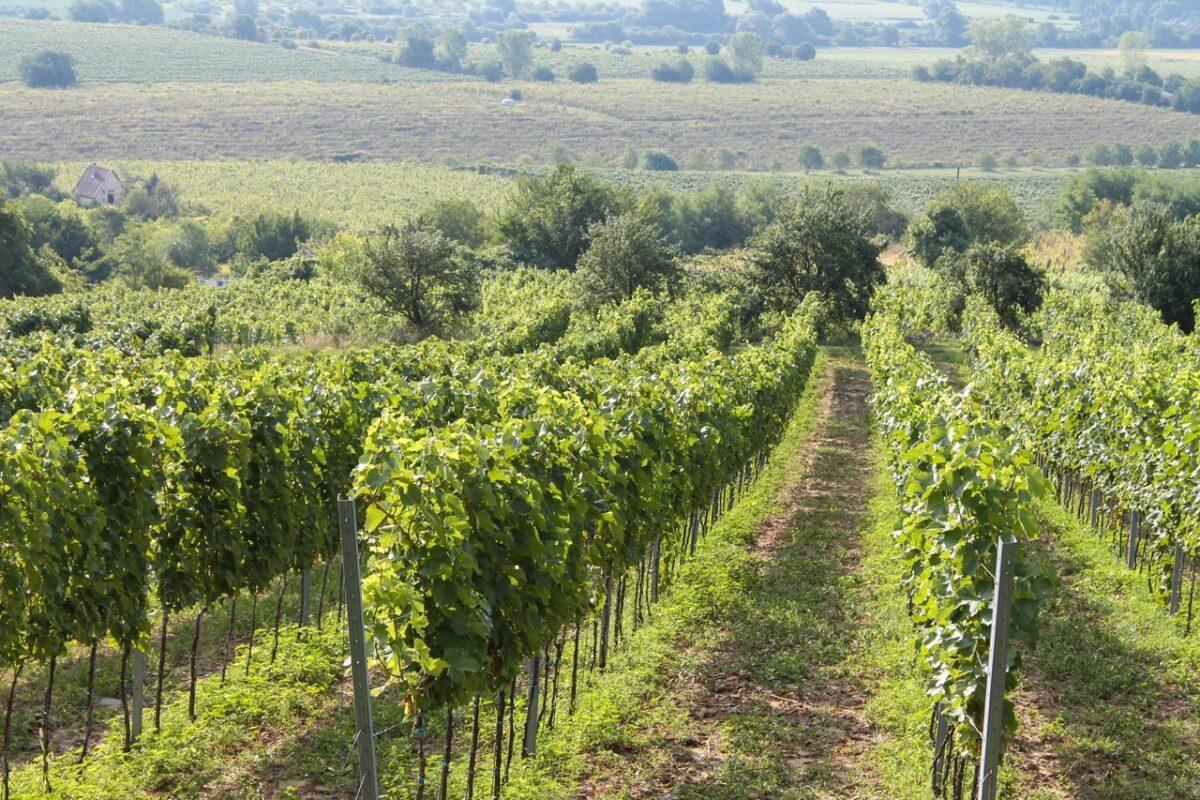 Furmint szőlőink telepítése